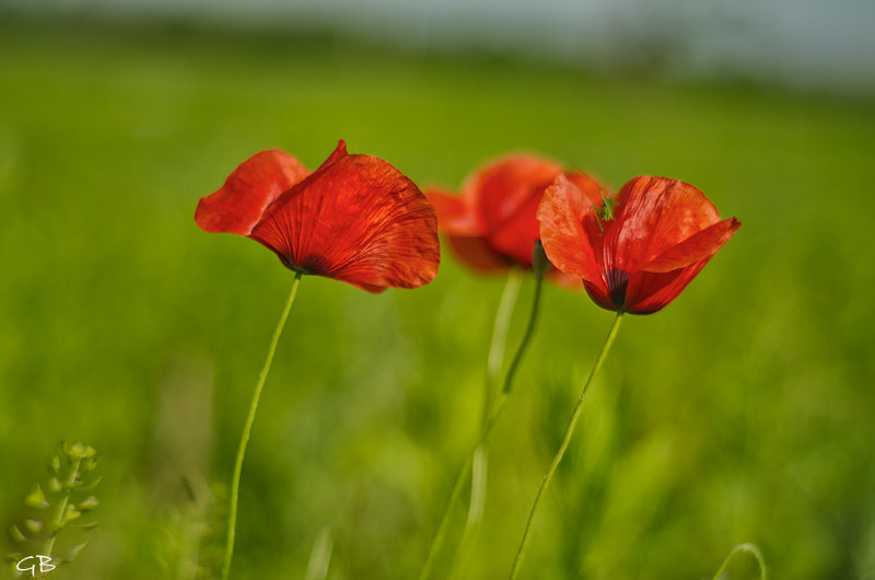 Photograph Poppies 2 by lapococa on 500px