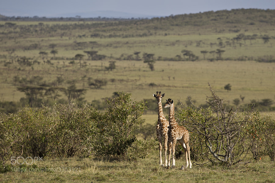 Photograph Baby Giraffe Pair by Mike Johnson on 500px