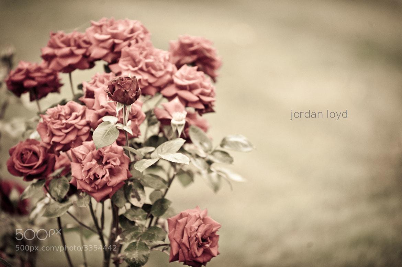 Photograph Roses by Jordan Loyd on 500px