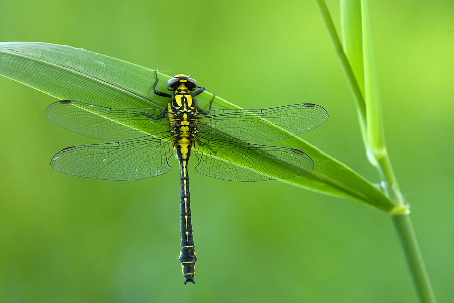 Photograph Common clubtail by Johannes Klapwijk on 500px