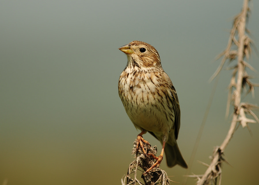 Photograph Corn bunting by Adem Yağız on 500px
