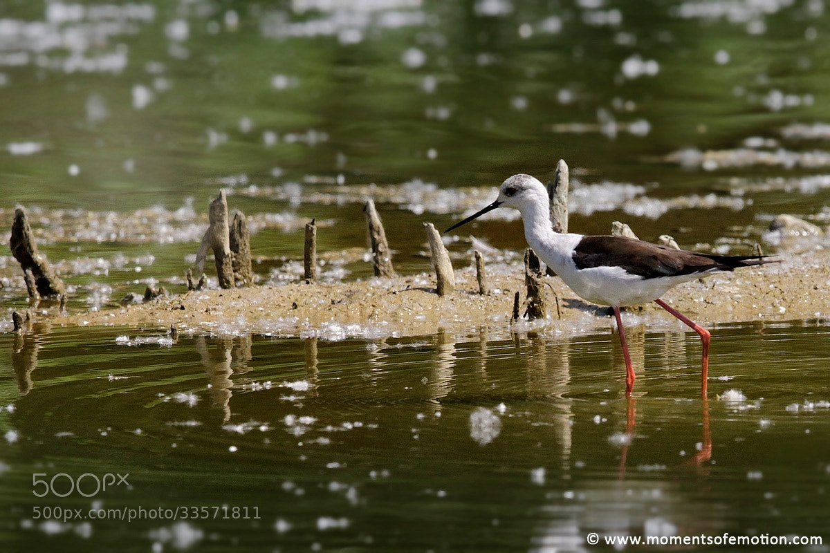 Photograph wading birds by Antonello Limongelli on 500px