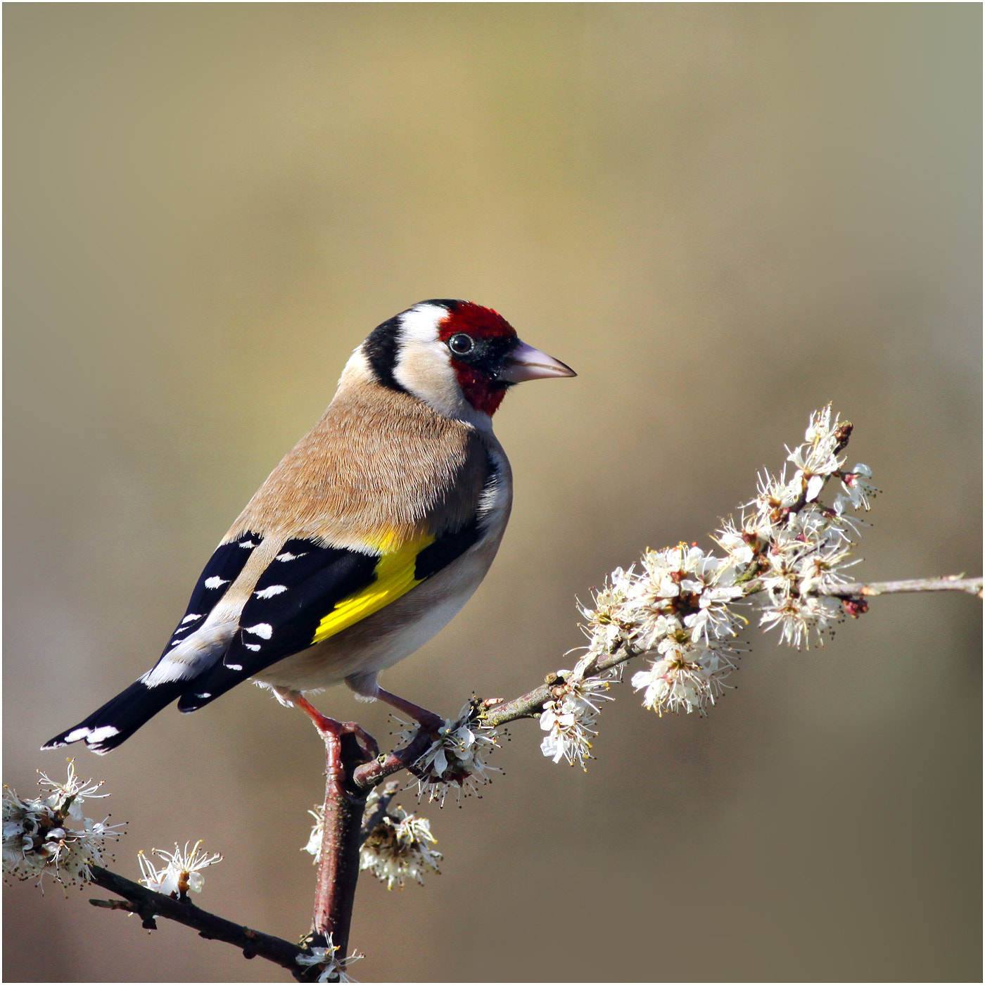 Photograph Goldfinch by Alan Coles on 500px