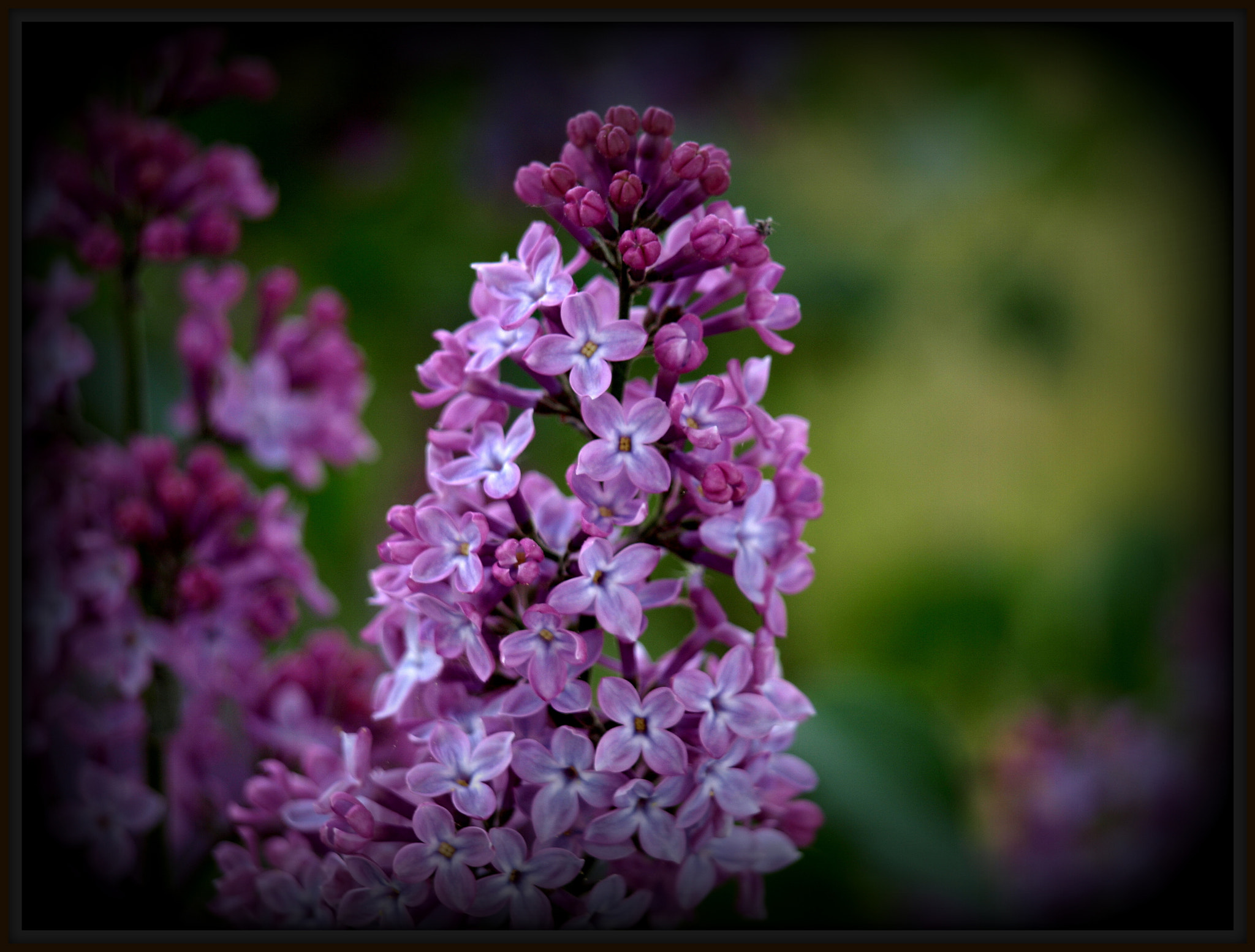 Photograph lilac blossom by AS'photo ( Arnold ) on 500px