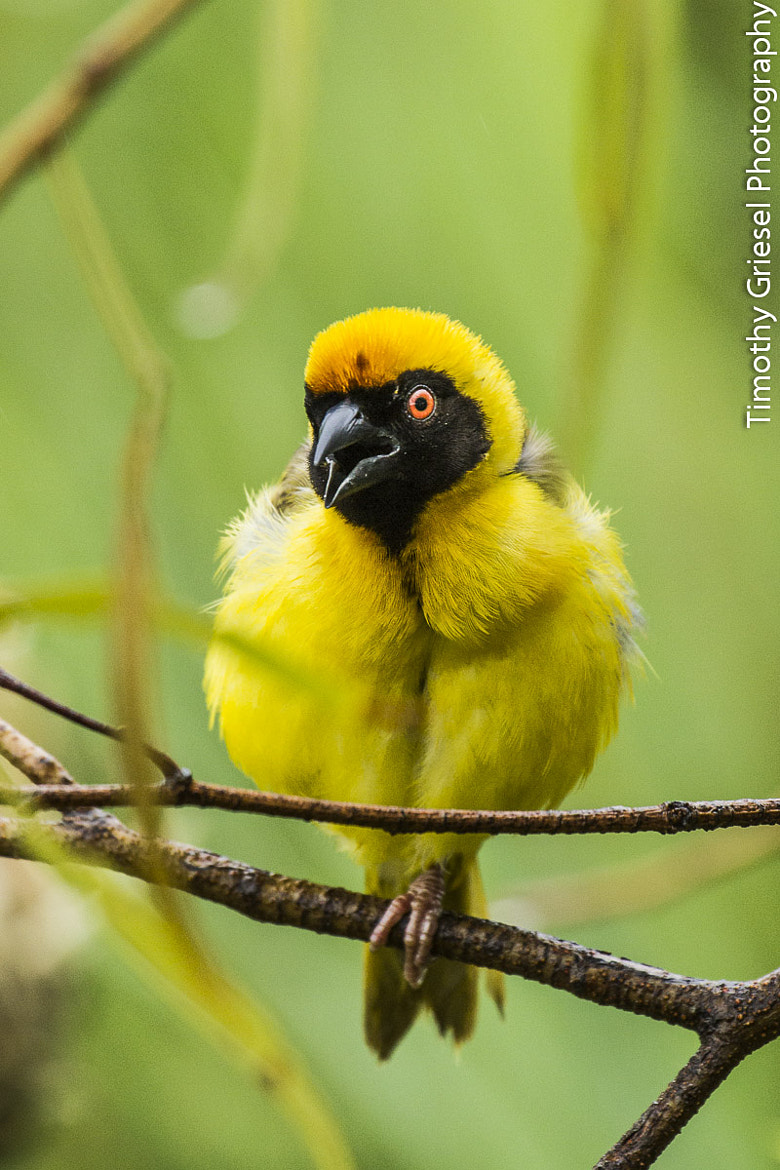 Photograph Masked Weaver by Timothy Griesel on 500px