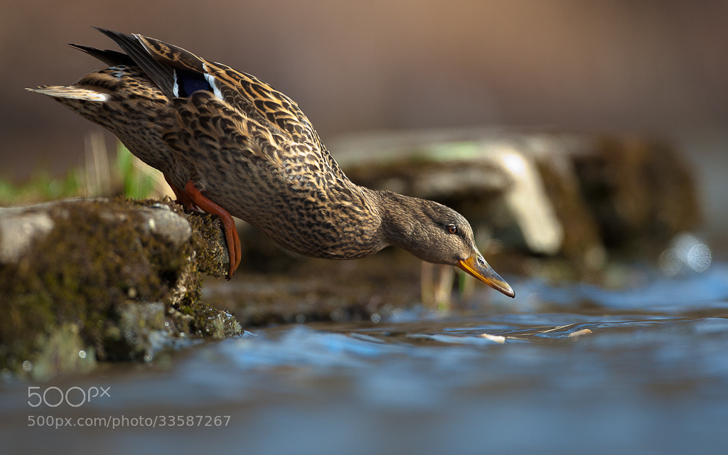 Photograph Mallard by Geir  Jensen on 500px