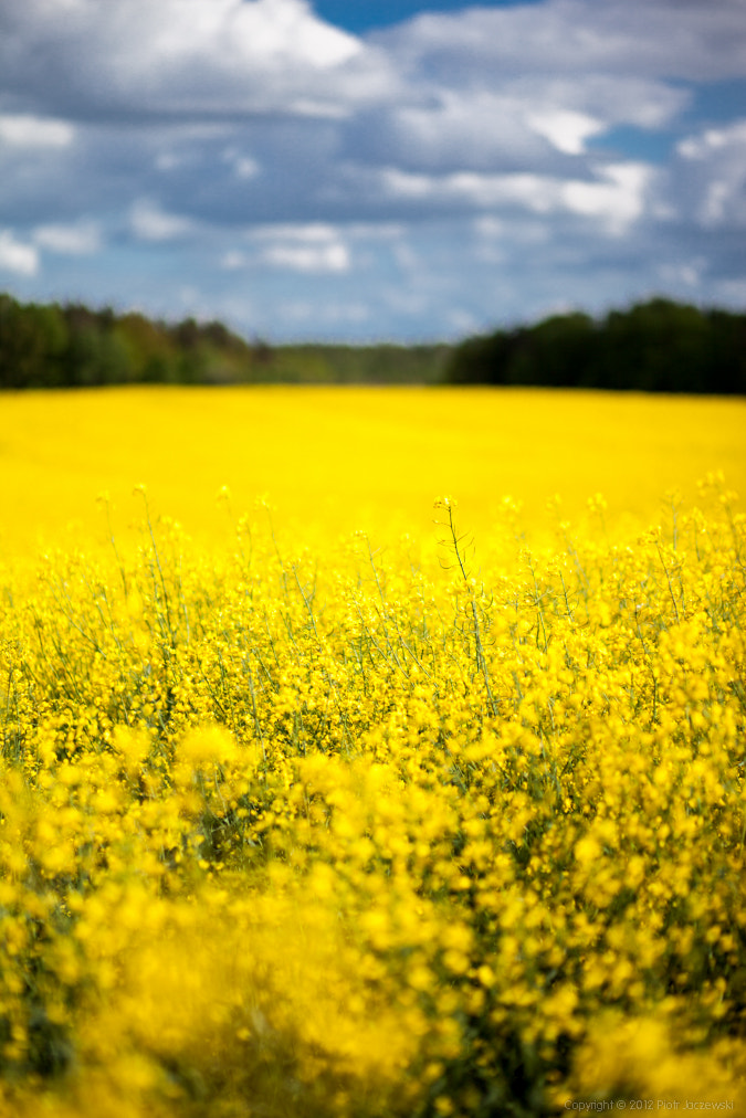 Photograph Blooming rapeseed by Peter Jot on 500px