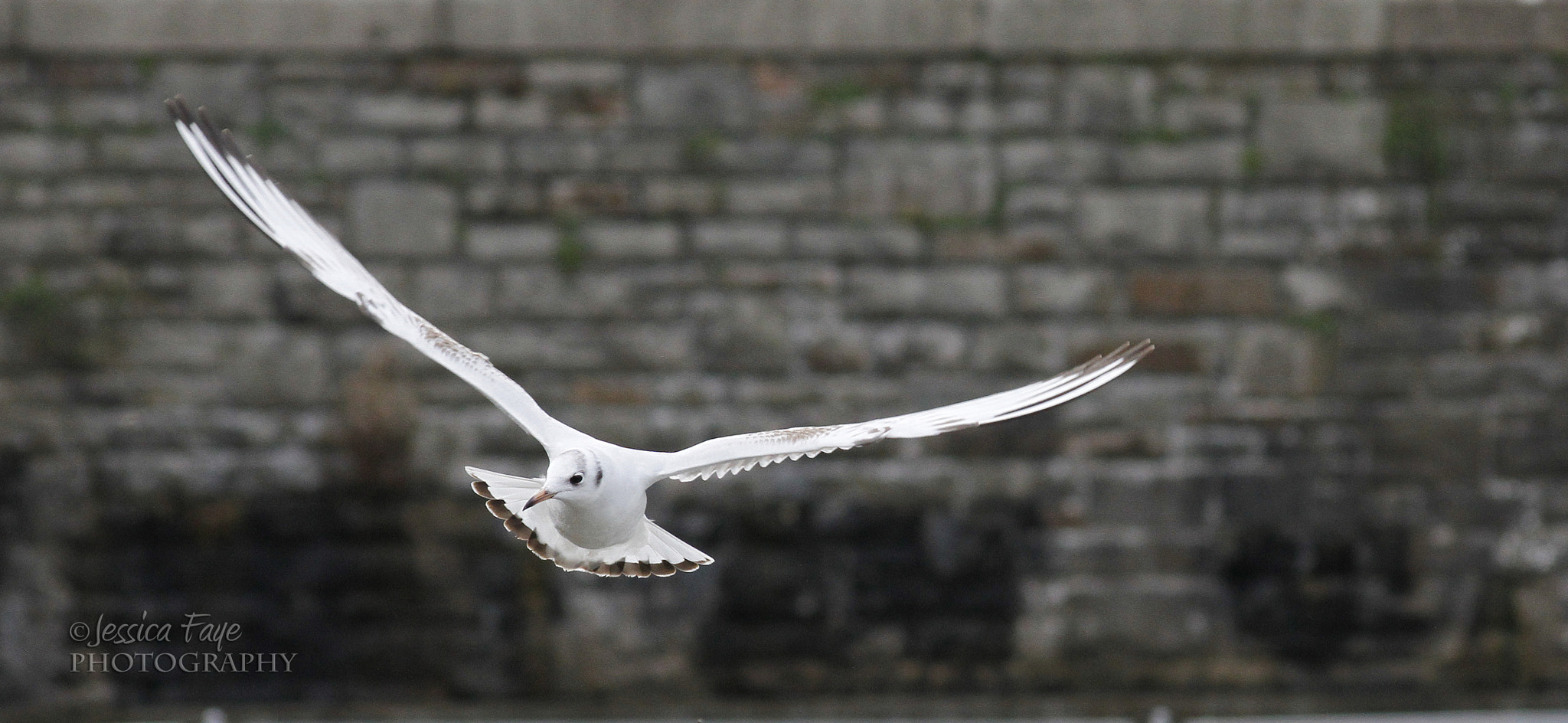 Photograph Black-headed gull by Jessica Faye Davies on 500px