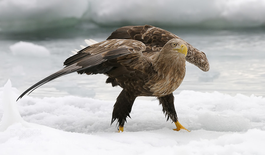 White-tailed Eagle in a walking pose, using the wings as stabilizers,  on the floating ice at the Sea of Okhotsk near Rausu, Hokkaido, Japan. 