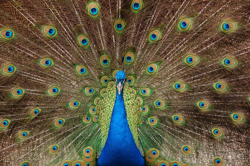Photograph Full Plumage by Andy Janes on 500px