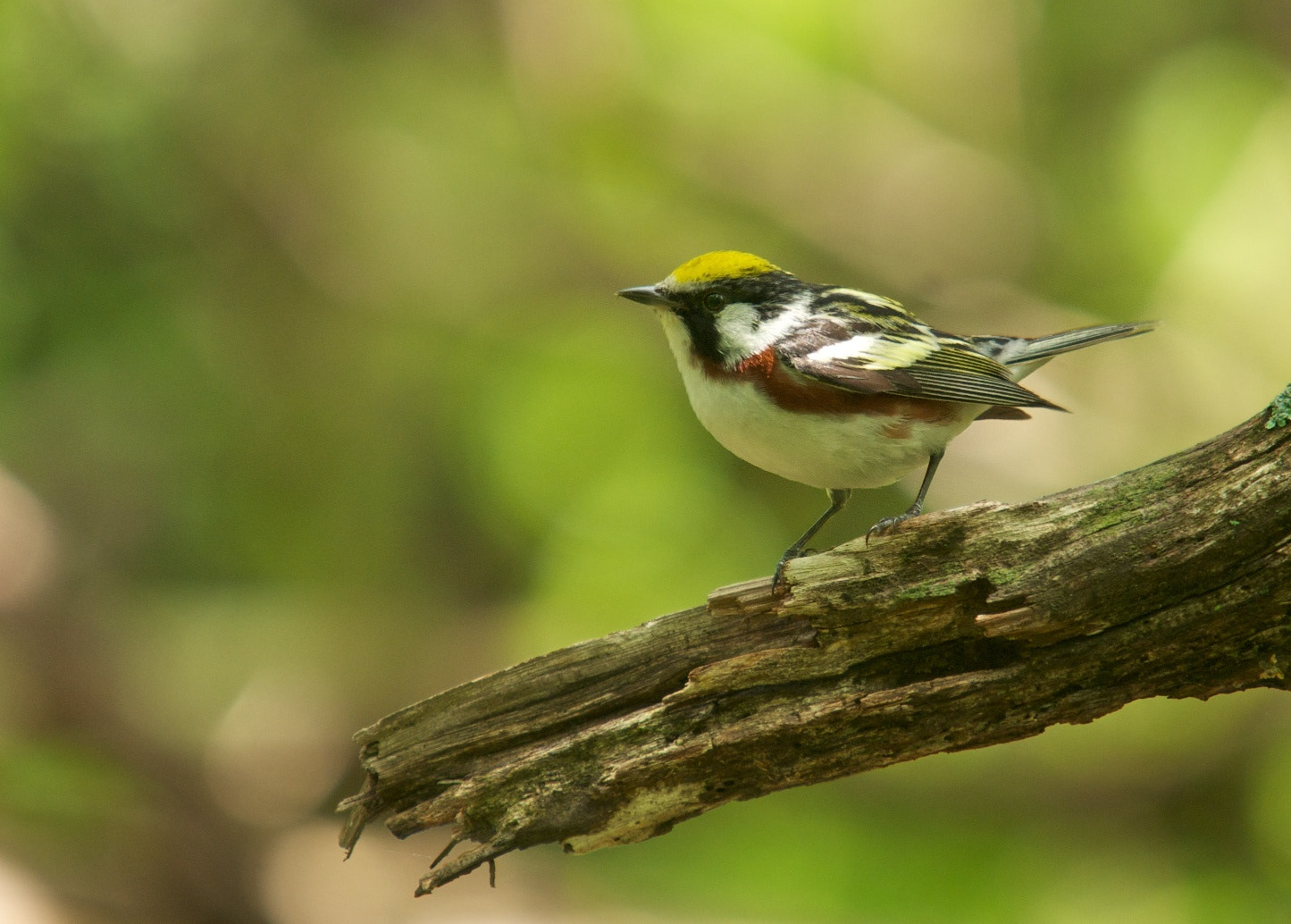 Photograph Chestnut-sided Warbler by Mike Fuhr on 500px