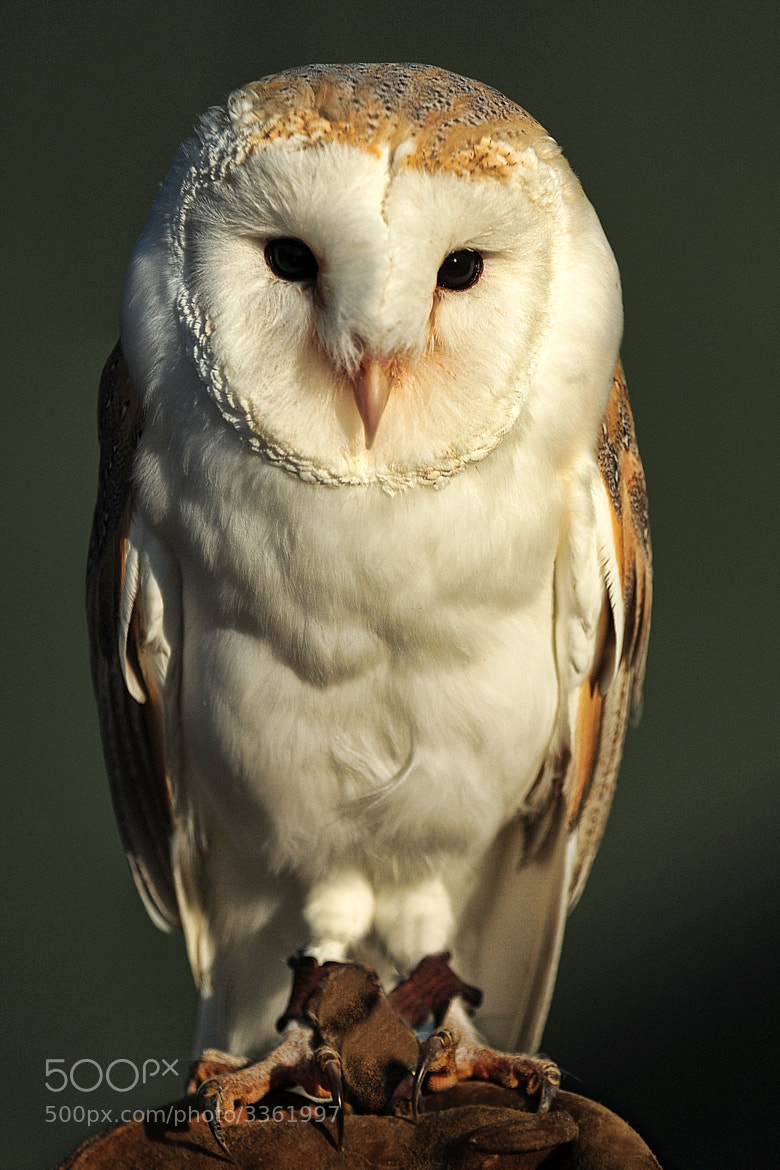 Photograph Barn Owl by Philip F Higgins on 500px