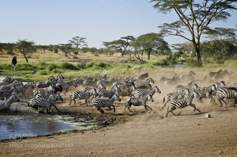 Photograph The Great Migration by Oli Evertz on 500px