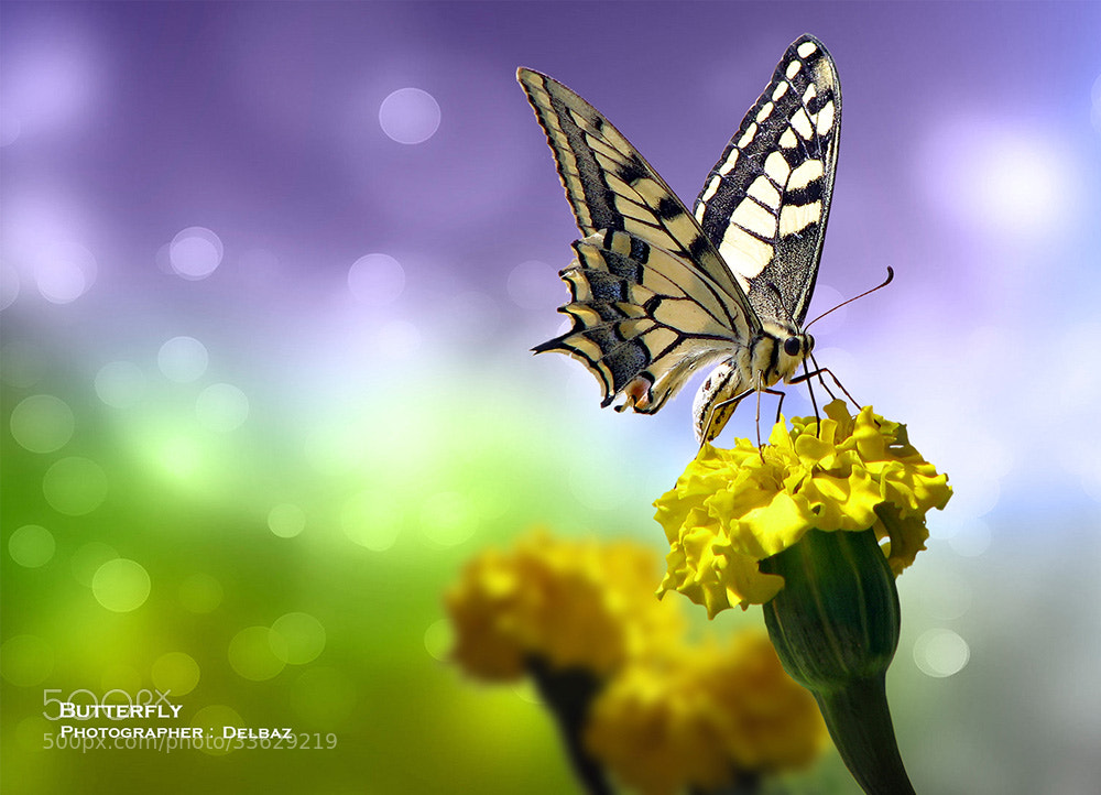 Photograph Butterfly by Yaser Delbaz on 500px