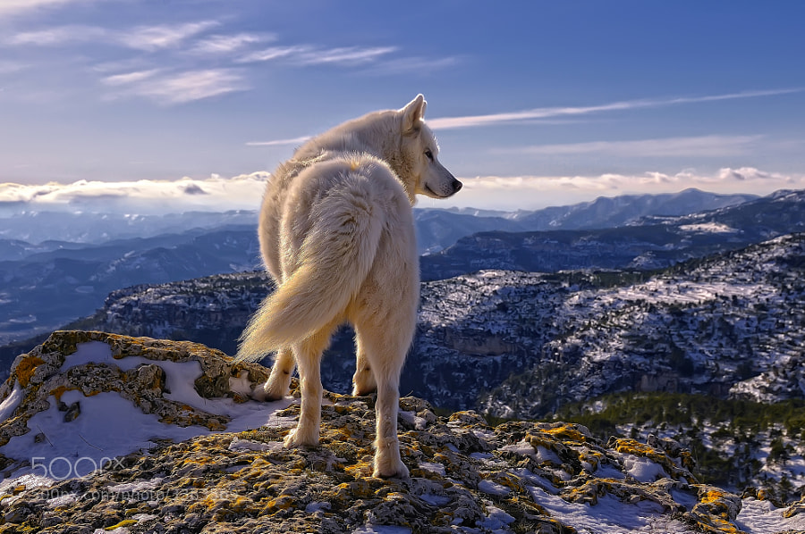 Siberian Huski  by Rafael  Tamaj?n on 500px.com