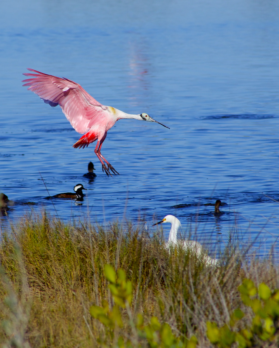 Photograph Spoonbill Landing by Patrick Anderson on 500px