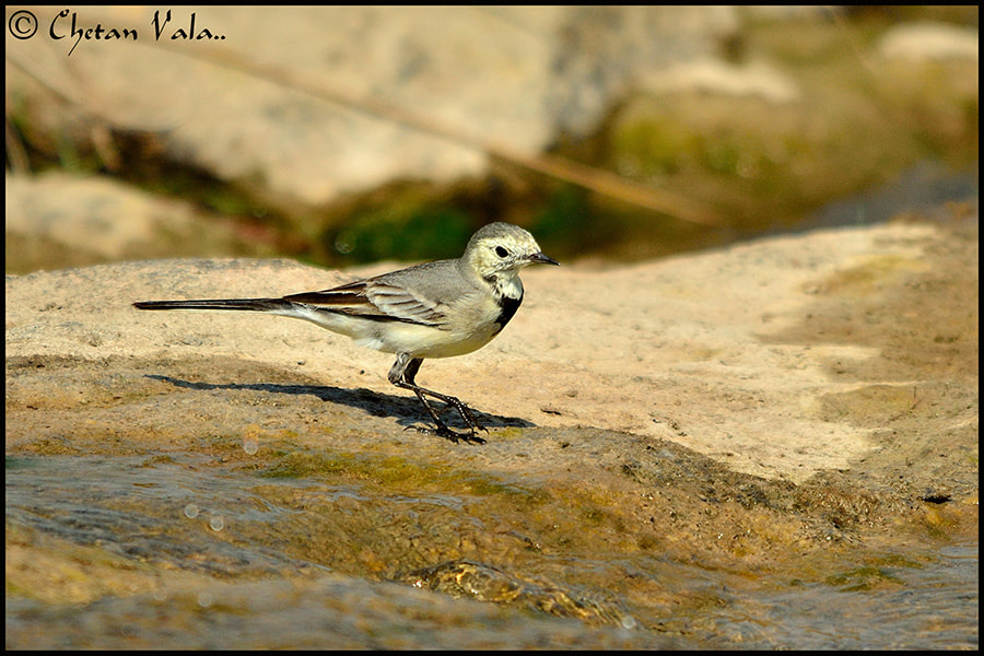 Photograph Wagtail by chetan vala on 500px