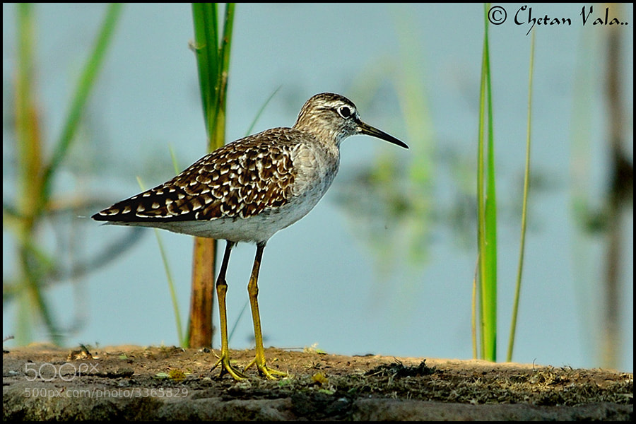 Photograph Wood Sandpiper by chetan vala on 500px