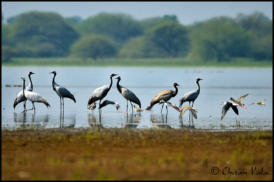Photograph Resting Cranes by chetan vala on 500px