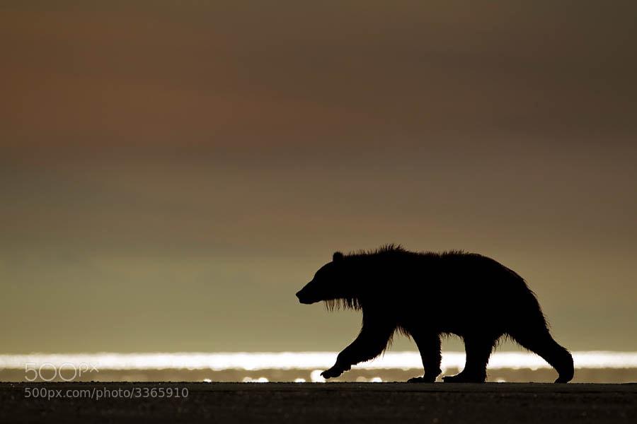Photograph Grizzly bear (Ursus horribilis)  by Mark Hamblin on 500px
