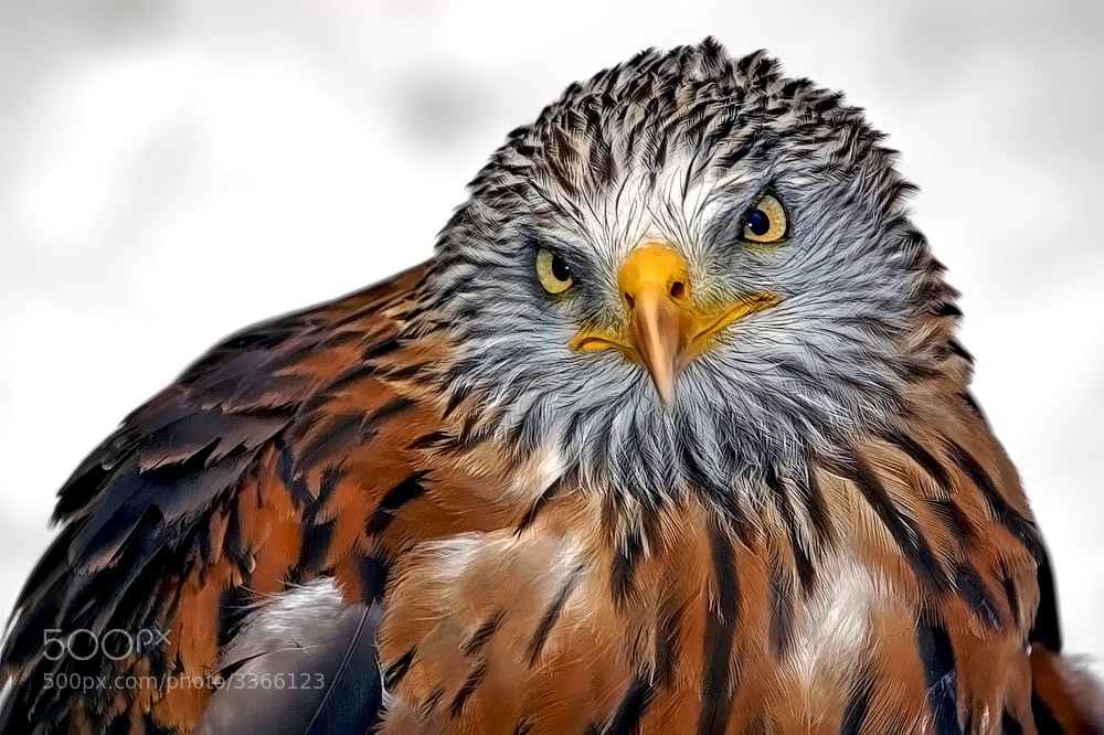 Photograph Red Kite Portrait by Klaus Wiese on 500px