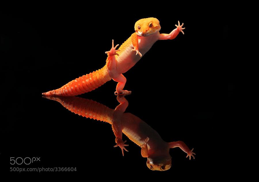 Photograph kungfu gecko by shikhei goh on 500px