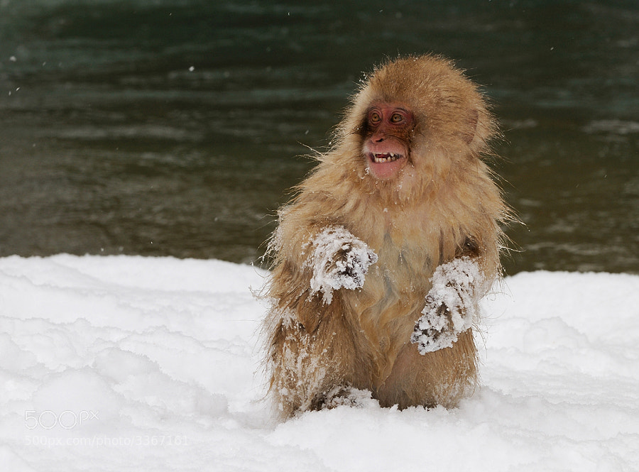 Young Japanese Macaque aka Snow Monkey  is playing around and has some snow fun in the mountains near Nagano, Honshu, Japan.