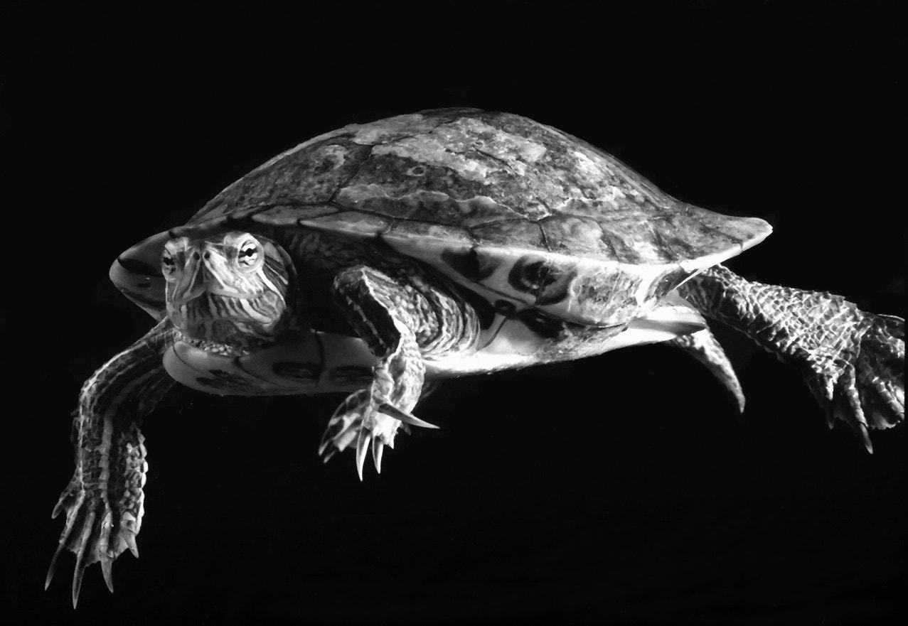 Photograph Red Eared Slider BW by Nate A on 500px