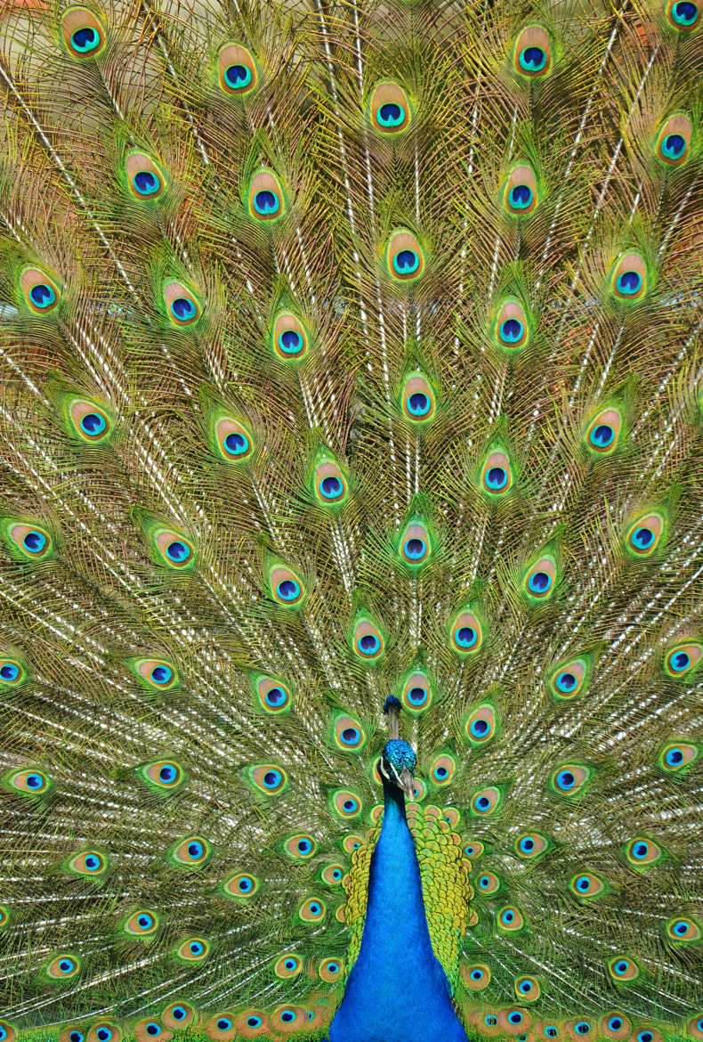 Photograph Peacock by Michael Fitzsimmons on 500px