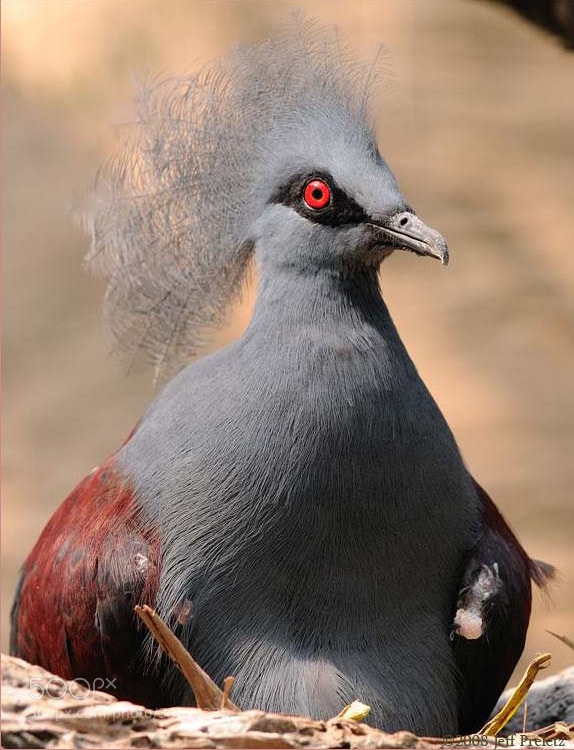Crowned pigeon posing in the nest