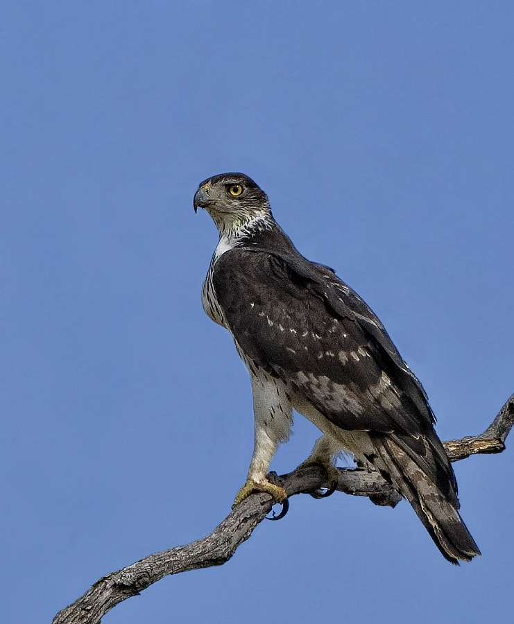 This was taken in Kwara concession, Botswana.  Can I ask if anybody can see any halos around the bird?