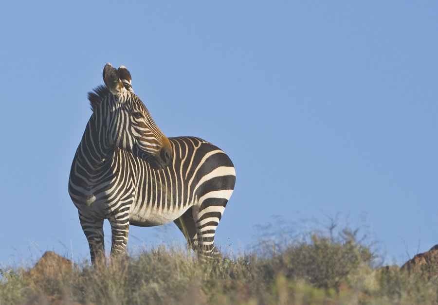 Still classified as vulnerable by IUCN, but certainly on the up, apart from the fact that they have introduced Lion to the Karoo National Park, where this was taken.