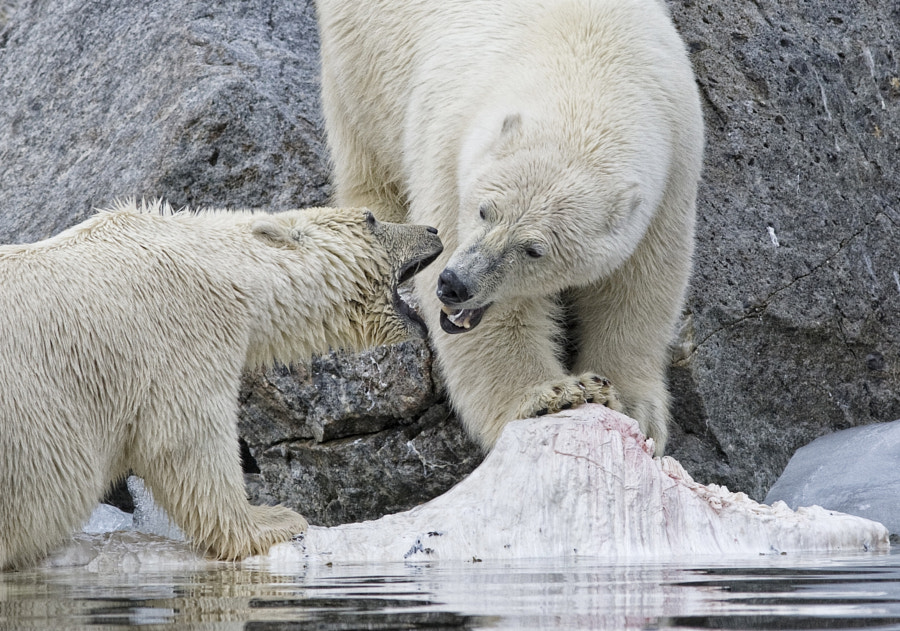 A young Polar bear tries to protect her lunch, all really noise and show no violence ensued. Taken in Svalbard, Norway