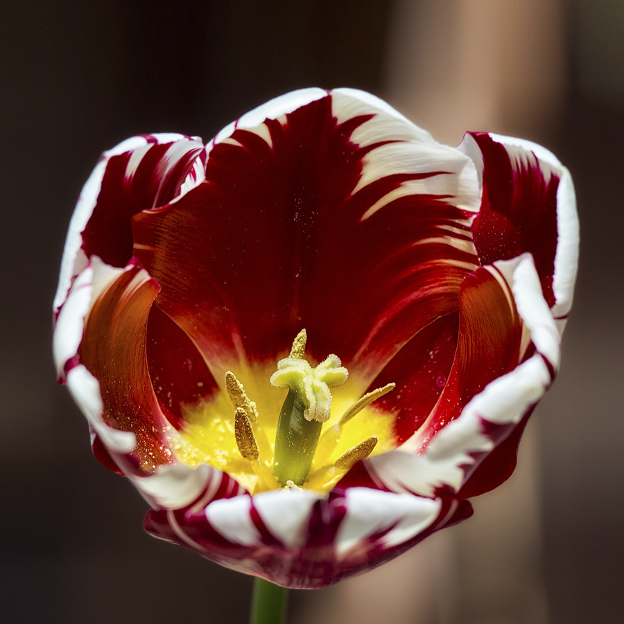 Photograph Tulip by Markus Reugels on 500px