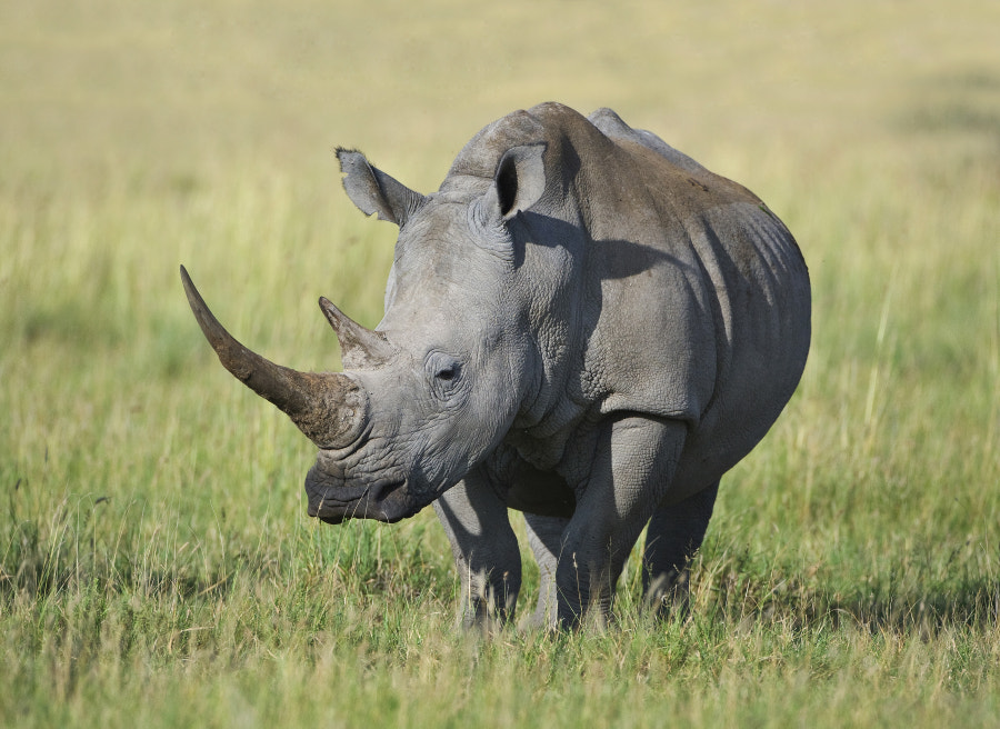 Believe it or not, this is a female, her calf was nearby, taken in Khama Rhino Sanctuary, Botswana