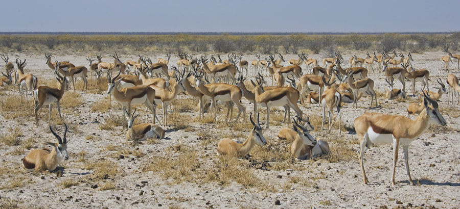 """Considering I now live in South Africa I have very few images of Sorimgbok, this was taken at Ozonjuitji m""""Bari water hole on the border with Western Etosha, there were literally thousands.This year when we were there and I had a large wide angle it goes without saying that there were none there."""
