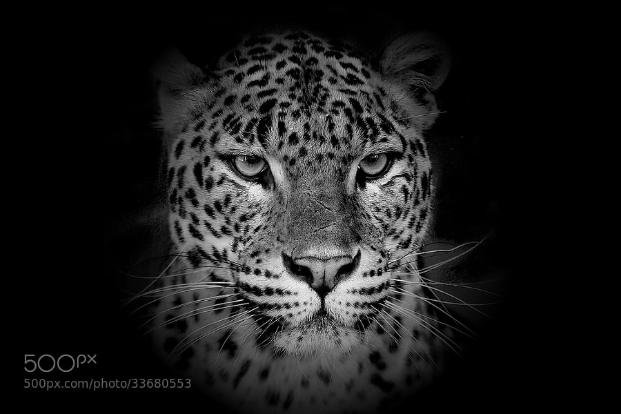 leopard portrait by wise photographie (wise-photographie)) on 500px.com
