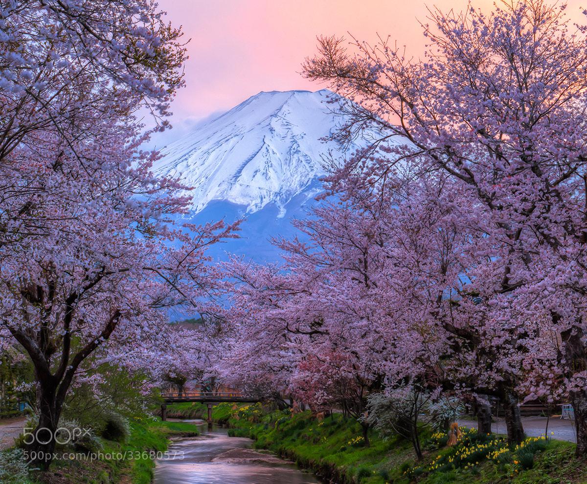 Photograph Fuji - Sakura - Sunset by Natasha Pnini on 500px