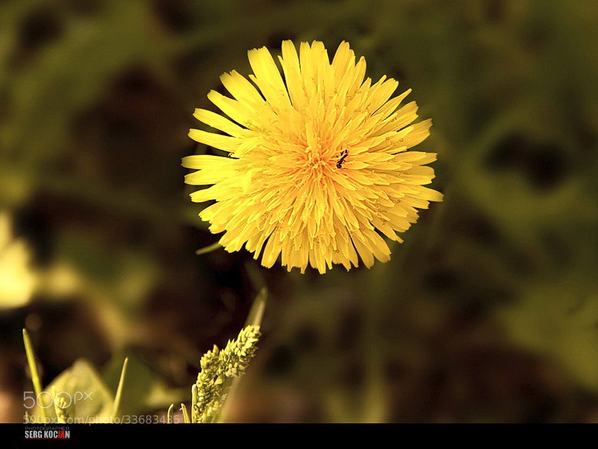 Photograph Little yellow sun. by Sergei Bandura on 500px