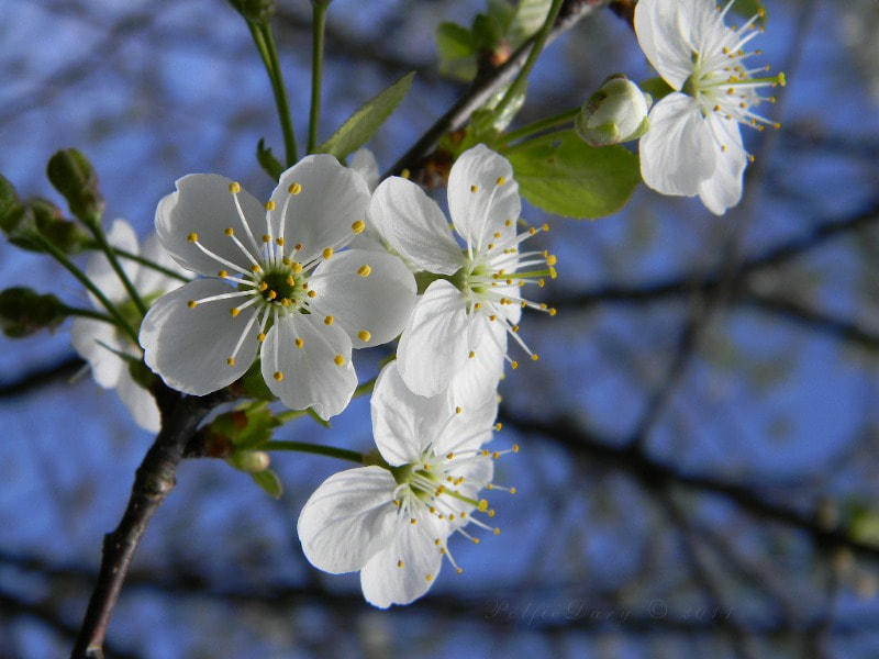 Photograph Cherry blossoms by Anne B on 500px
