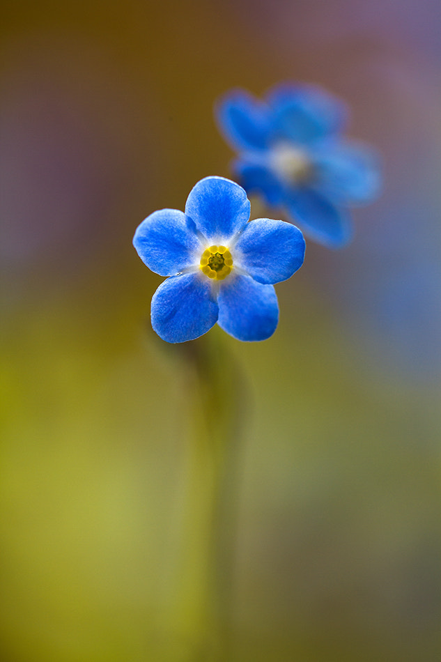 Photograph Forget me not by Mandy Disher on 500px