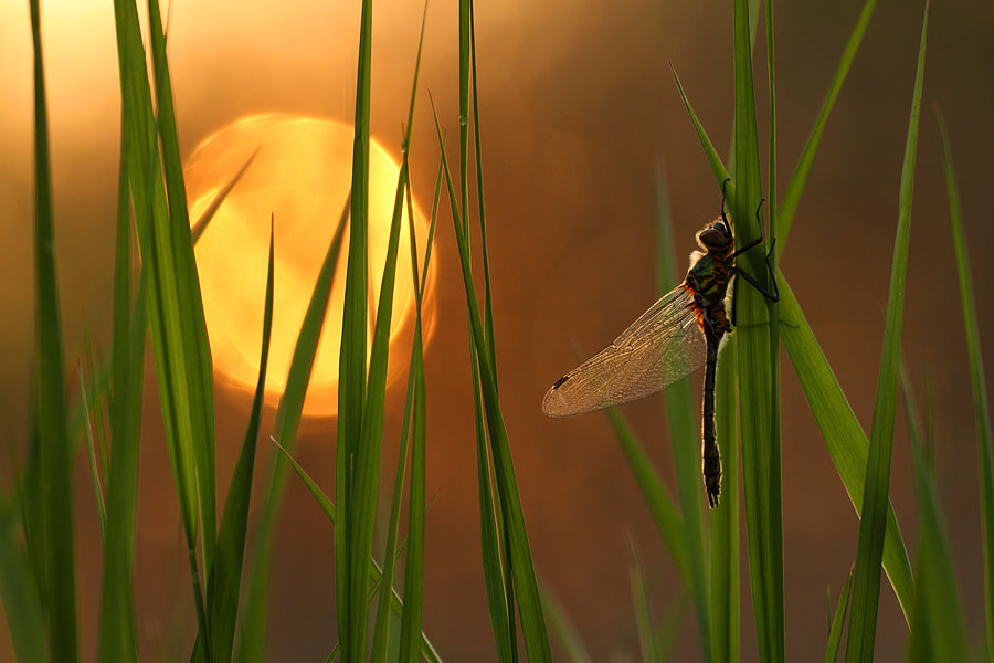 Photograph Newly emerged dragonfly by Johannes van Donge on 500px