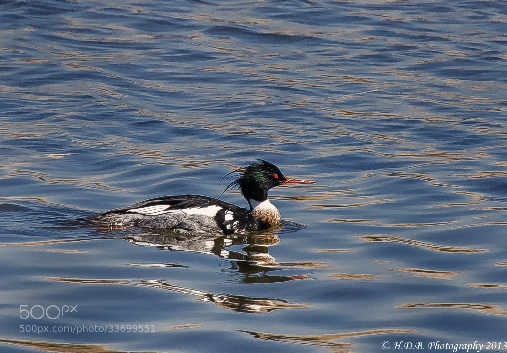Photograph Red Breasted Merganser by Harold Begun on 500px