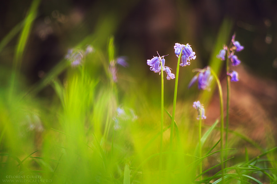 Photograph Bluebells at Evening by Florent Courty on 500px