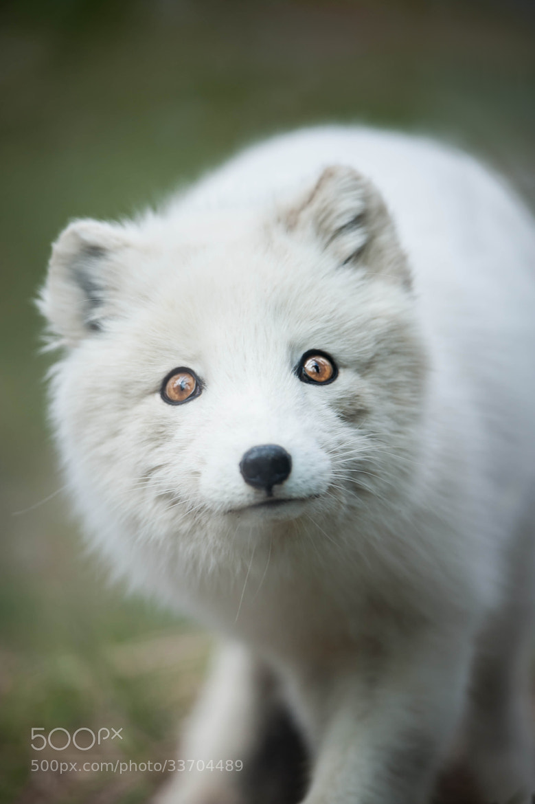 Photograph Arctic Fox by Justin Lo on 500px