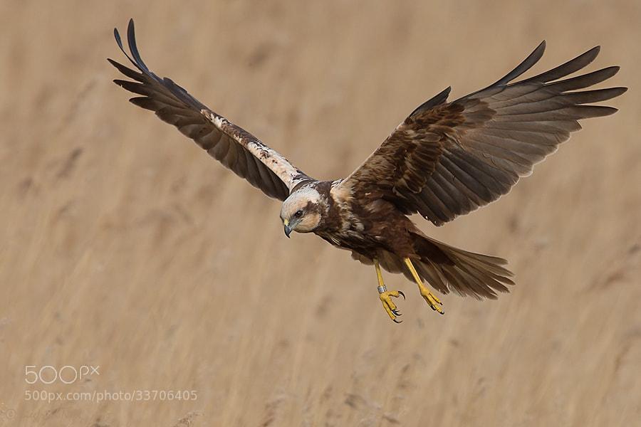 Photograph  Western Marsh Harrier - Female III by Siegfried Noët on 500px