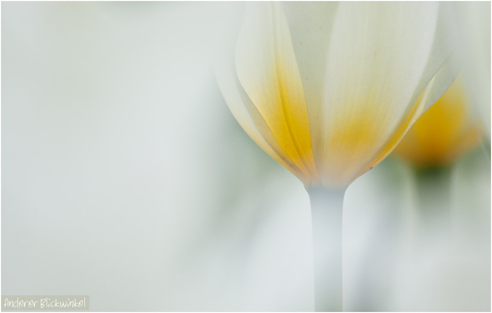 Photograph white tulips by Anderer Blickwinkel on 500px