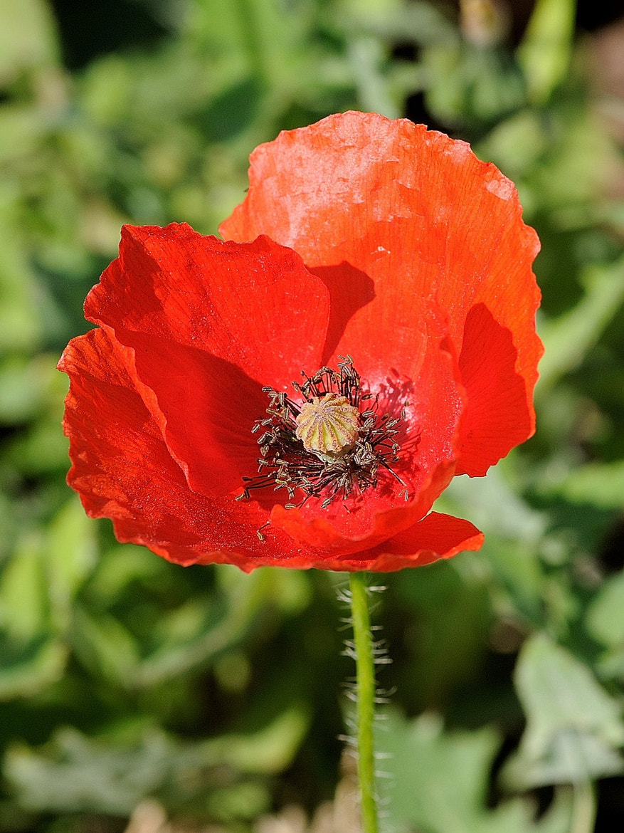 Photograph Rosella (Papaver by Joan Oliveras on 500px