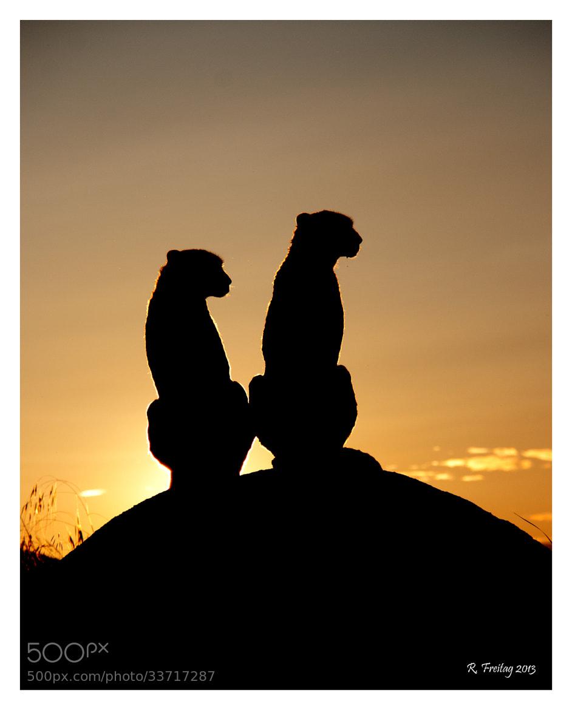 Photograph Cheetah's sunset by Regina F on 500px