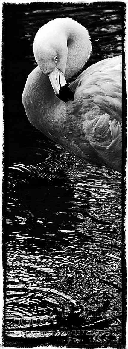 Photograph Flamingo Ripple by Mark S Lane on 500px